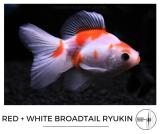 red_and_white_broadtail_ryukin.jpg