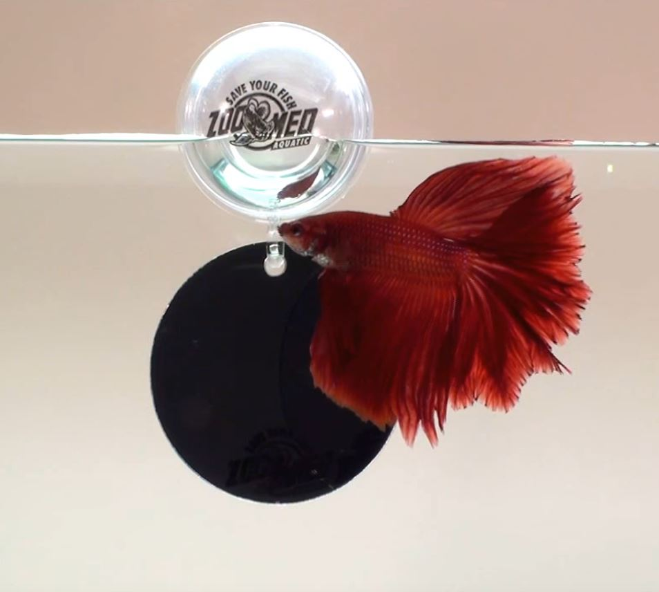 Seaview aquarium centre zoo med floating betta exercise for Betta fish floating